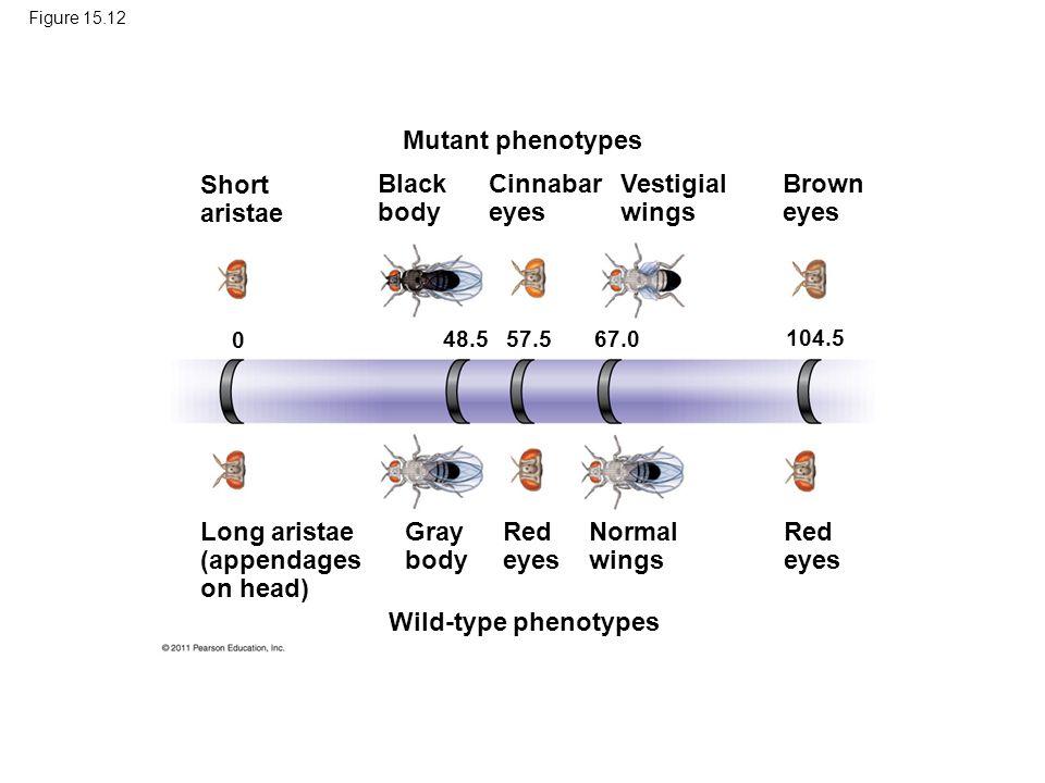 Figure 15.12 Mutant phenotypes Short aristae Black body Cinnabar eyes Vestigial wings Brown eyes Long aristae (appendages on head) Gray body Red eyes