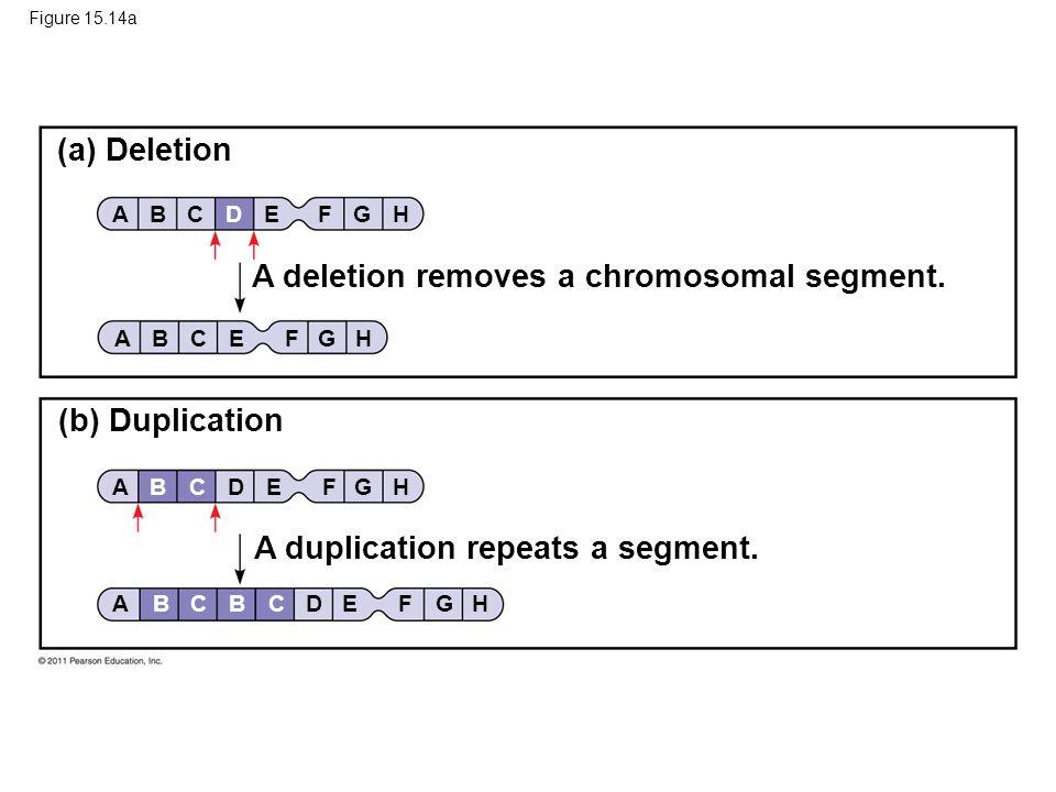 Figure 15.14a (a) Deletion (b) Duplication A deletion removes a chromosomal segment. A duplication repeats a segment. BACDEFGH ABCDEFGH ABCDEFGHBC ABC