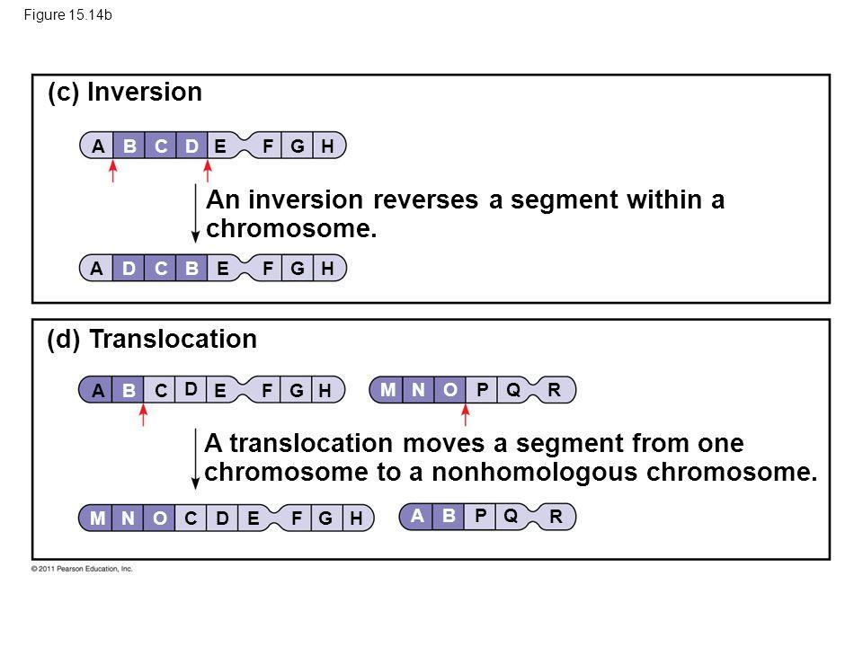 Figure 15.14b (c) Inversion (d) Translocation An inversion reverses a segment within a chromosome. A translocation moves a segment from one chromosome