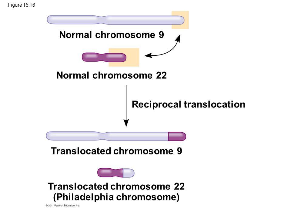 Figure 15.16 Normal chromosome 9 Normal chromosome 22 Reciprocal translocation Translocated chromosome 9 Translocated chromosome 22 (Philadelphia chro