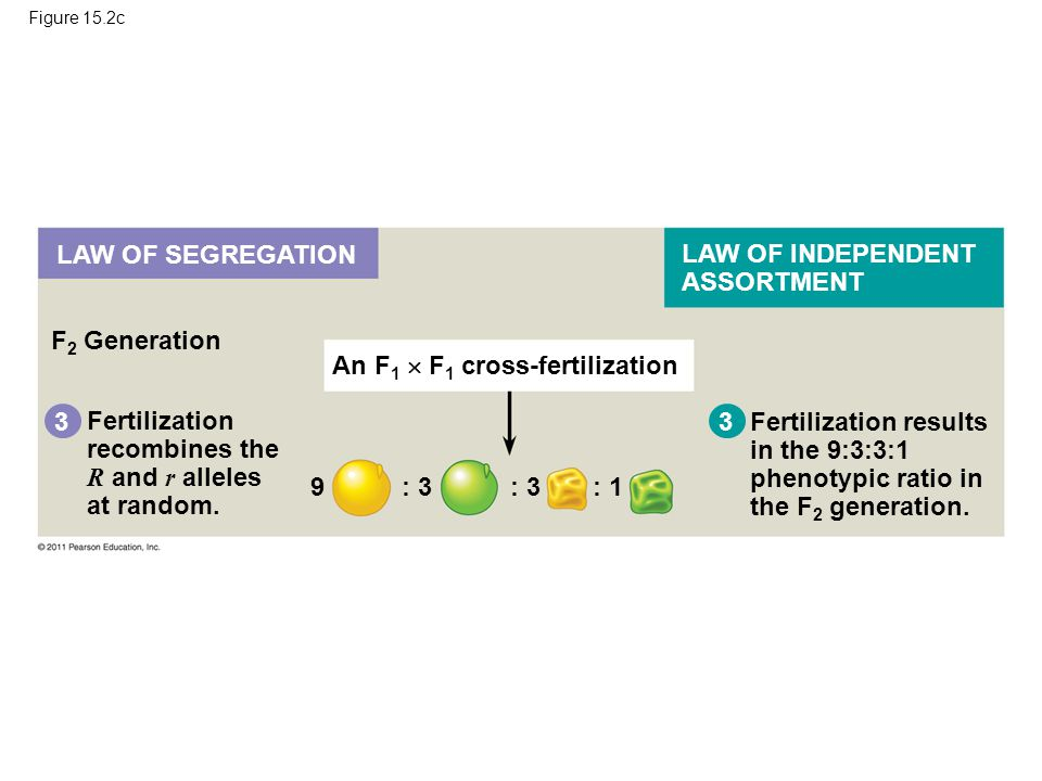 Figure 15.2c F 2 Generation 3 Fertilization recombines the R and r alleles at random. Fertilization results in the 9:3:3:1 phenotypic ratio in the F 2