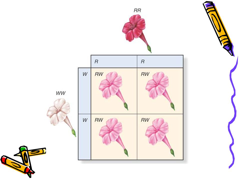 Red=R White=W 1. Cross a red flower with a white flower, showing incomplete dominance. RR W W R R R R W W W W Genotype: 100% RW Phenotype: PINK!