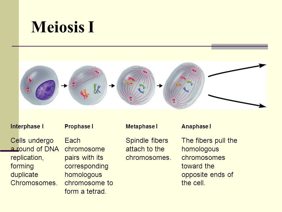 Interphase I Prophase I Metaphase I Anaphase I Cells undergo a round of DNA replication, forming duplicate Chromosomes. Each chromosome pairs with its