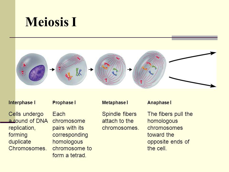 Interphase I Prophase I Metaphase I Anaphase I Cells undergo a round of DNA replication, forming duplicate Chromosomes.