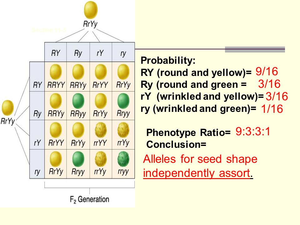 Section 11-3 Go to Section: Probability: RY (round and yellow)= Ry (round and green = rY (wrinkled and yellow)= ry (wrinkled and green)= Phenotype Ratio= Conclusion= 9/16 3/16 1/16 9:3:3:1 Alleles for seed shape independently assort.