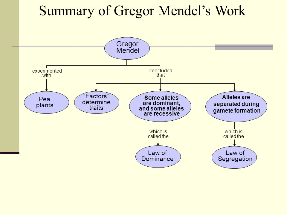 concluded that which is called the Gregor Mendel Law of Dominance Law of Segregation Pea plants Factors determine traits Some alleles are dominant, and some alleles are recessive Alleles are separated during gamete formation experimented with Summary of Gregor Mendel's Work