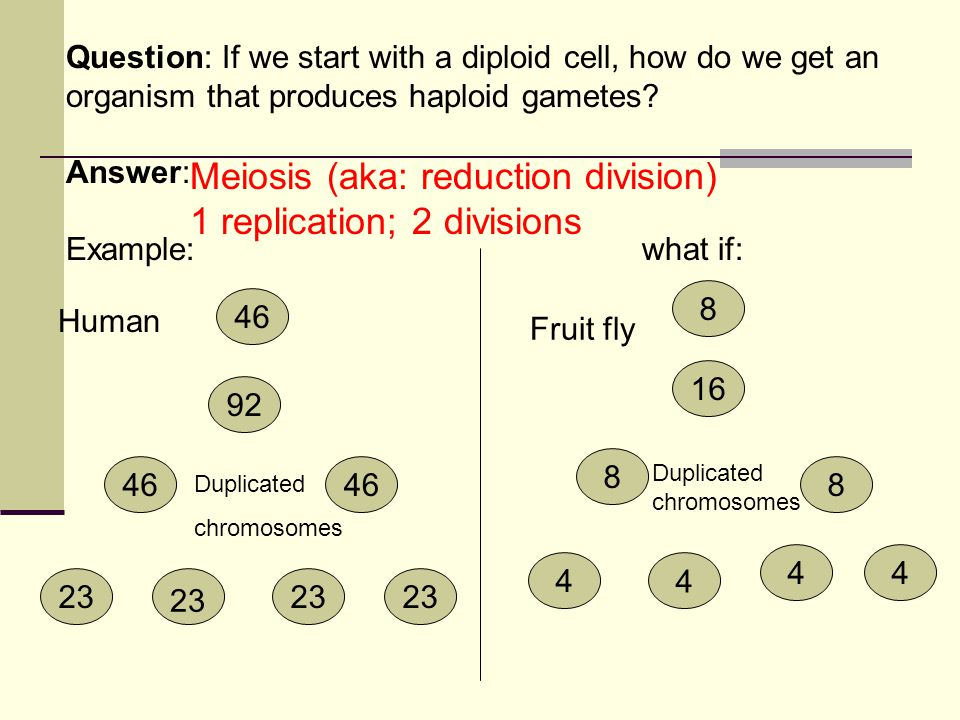 Question: If we start with a diploid cell, how do we get an organism that produces haploid gametes? Answer: Example:what if: 46 44 8 44 8 16 8 23 46 9