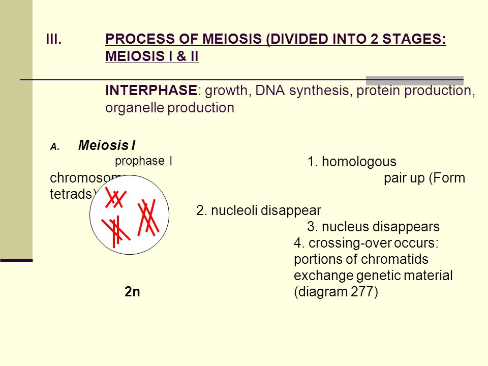 III.PROCESS OF MEIOSIS (DIVIDED INTO 2 STAGES: MEIOSIS I & II INTERPHASE: growth, DNA synthesis, protein production, organelle production A.