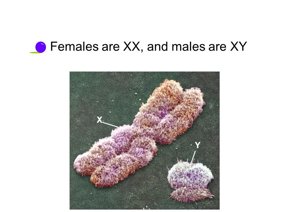 X Y Females are XX, and males are XY