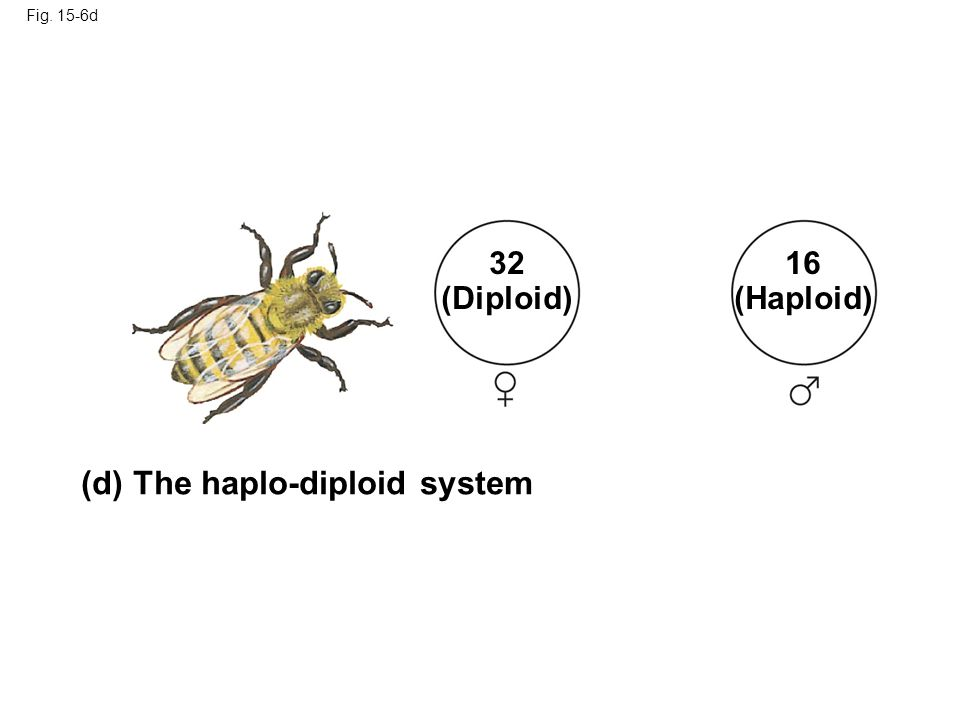 Fig. 15-6d (d) The haplo-diploid system 32 (Diploid) 16 (Haploid)