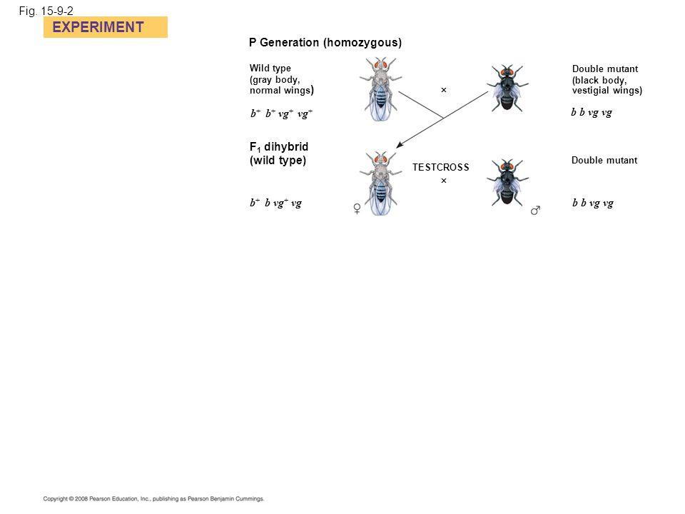 Fig. 15-9-2 EXPERIMENT P Generation (homozygous) Wild type (gray body, normal wings ) Double mutant (black body, vestigial wings)  b b vg vg Double m