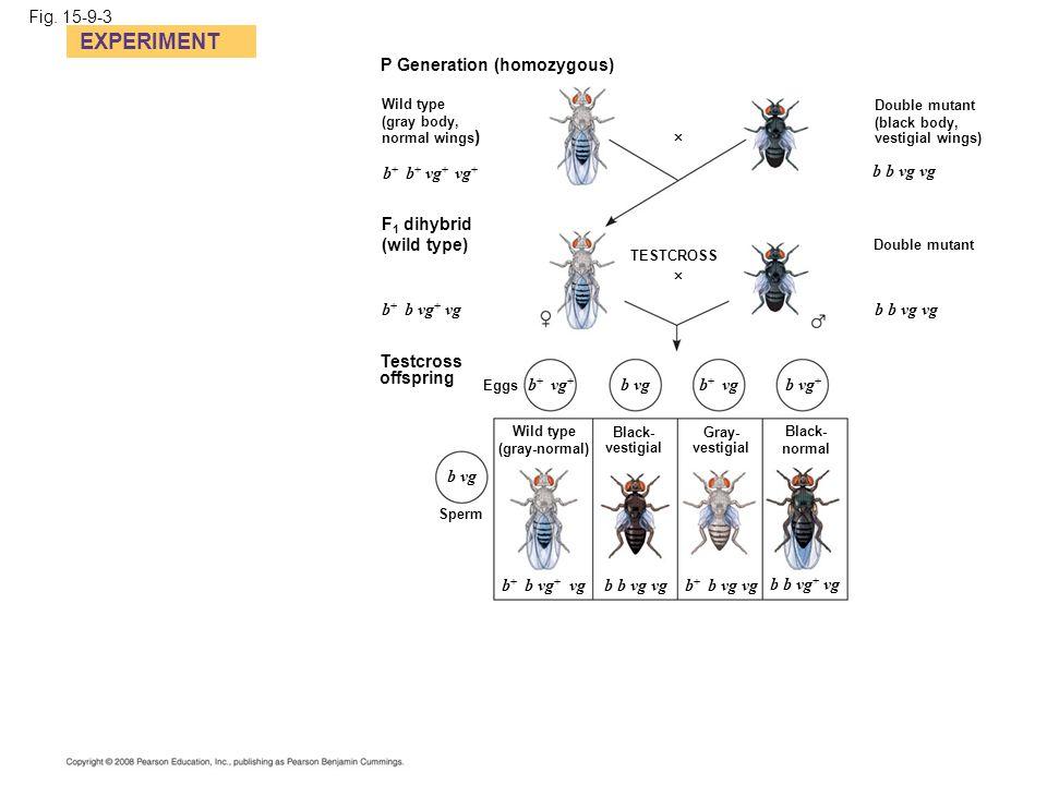 Fig. 15-9-3 EXPERIMENT P Generation (homozygous) Wild type (gray body, normal wings ) Double mutant (black body, vestigial wings)  b b vg vg Double m