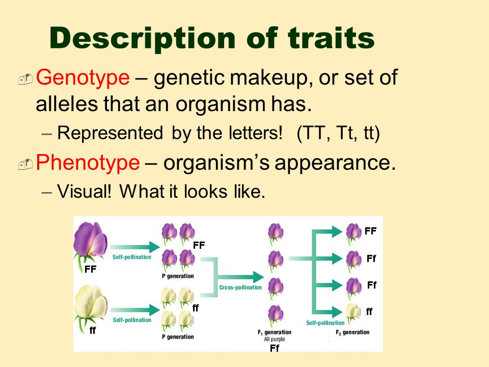 Description of traits  Genotype – genetic makeup, or set of alleles that an organism has.