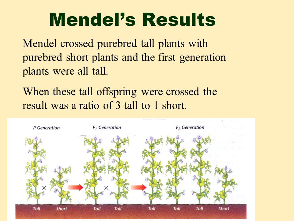 Mendel's Results Mendel crossed purebred tall plants with purebred short plants and the first generation plants were all tall.