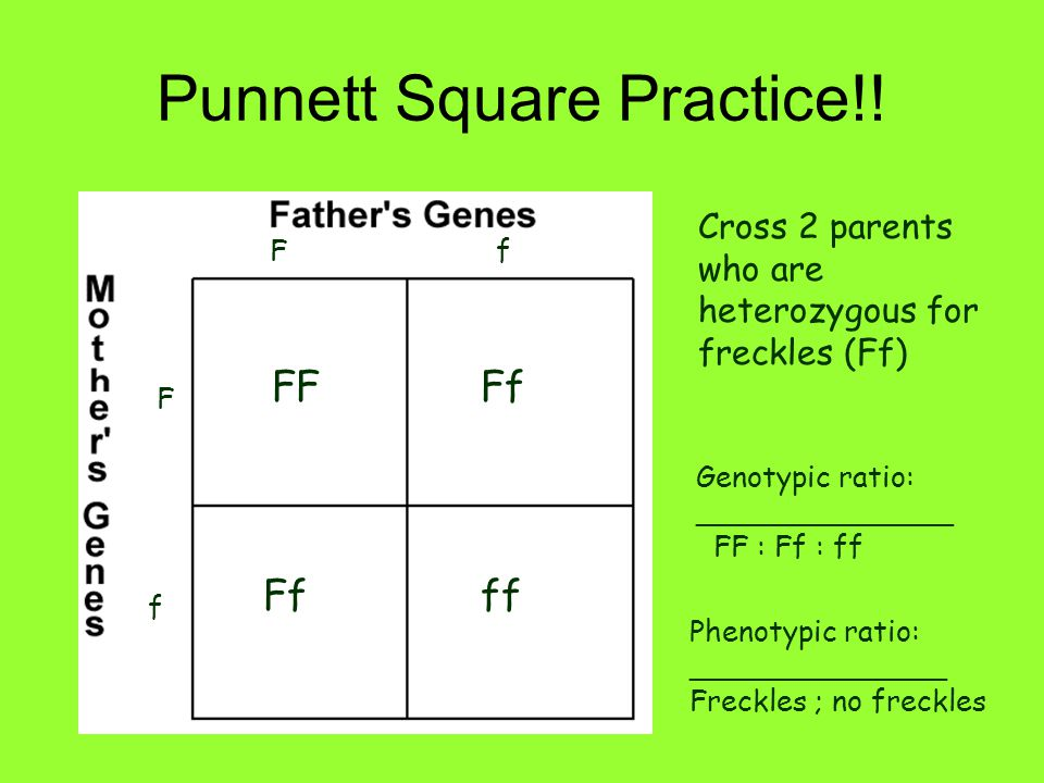 Punnett Square Practice!! Cross 2 parents who are heterozygous for freckles (Ff) Ff F f FFFf ff Genotypic ratio: ______________ FF : Ff : ff Phenotypi