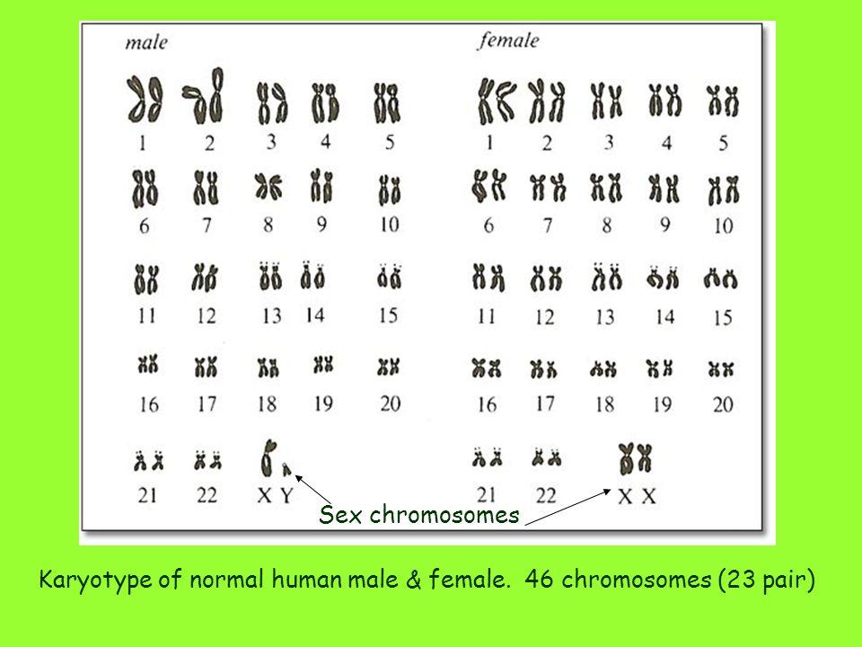Karyotype of normal human male & female. 46 chromosomes (23 pair) Sex chromosomes