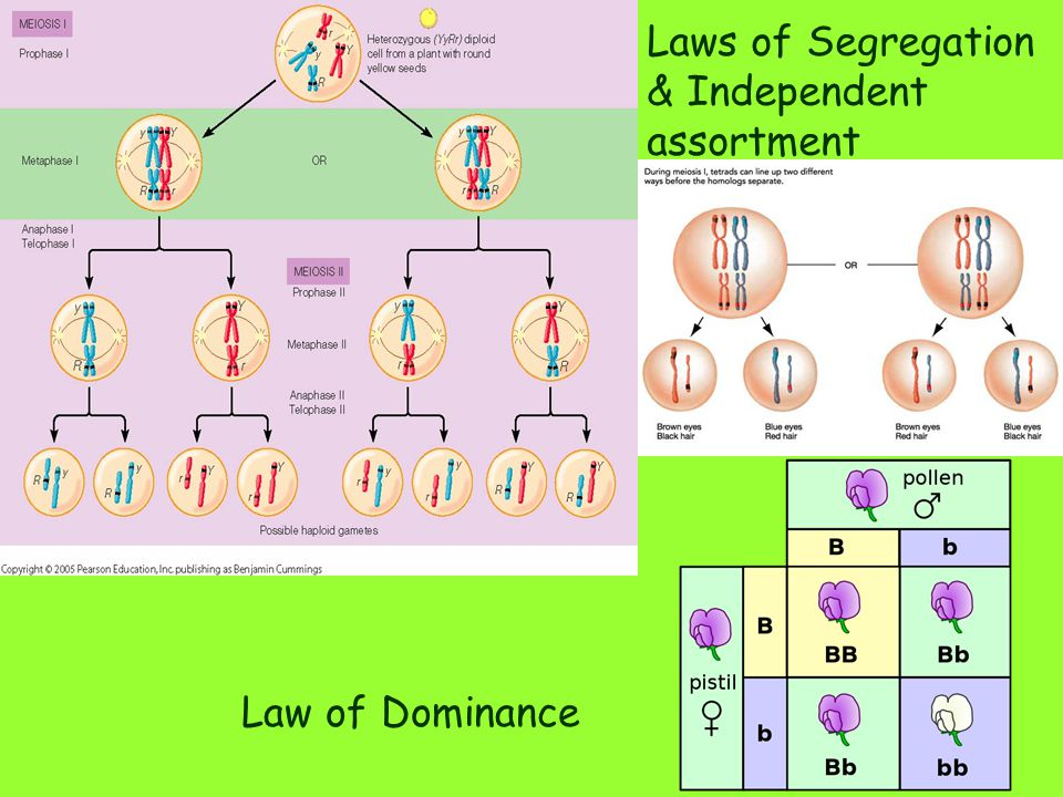 Laws of Segregation & Independent assortment Law of Dominance