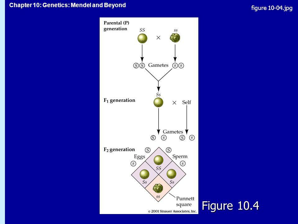 Chapter 10: Genetics: Mendel and Beyond Figure 10.4 figure 10-04.jpg