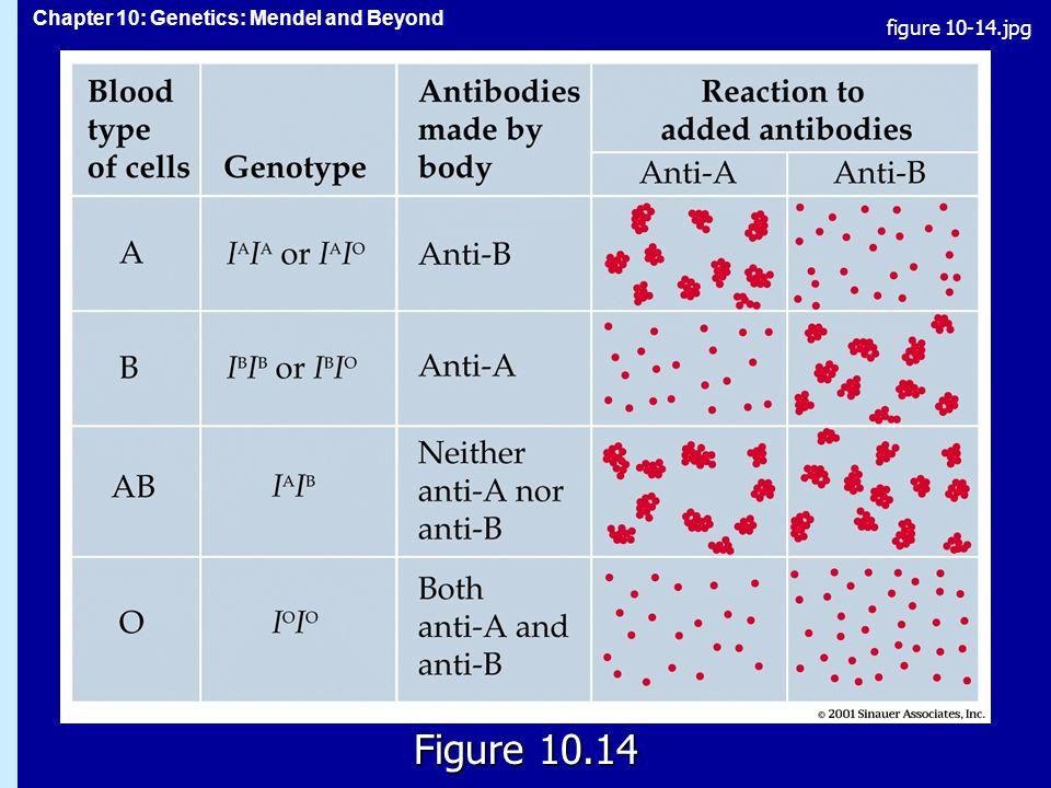 Chapter 10: Genetics: Mendel and Beyond Figure 10.14 figure 10-14.jpg