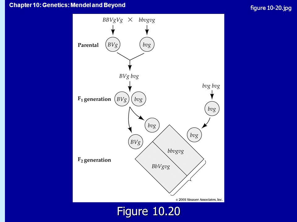 Chapter 10: Genetics: Mendel and Beyond Figure 10.20 figure 10-20.jpg