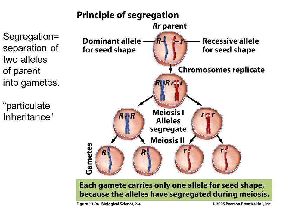 Segregation= separation of two alleles of parent into gametes. particulate Inheritance