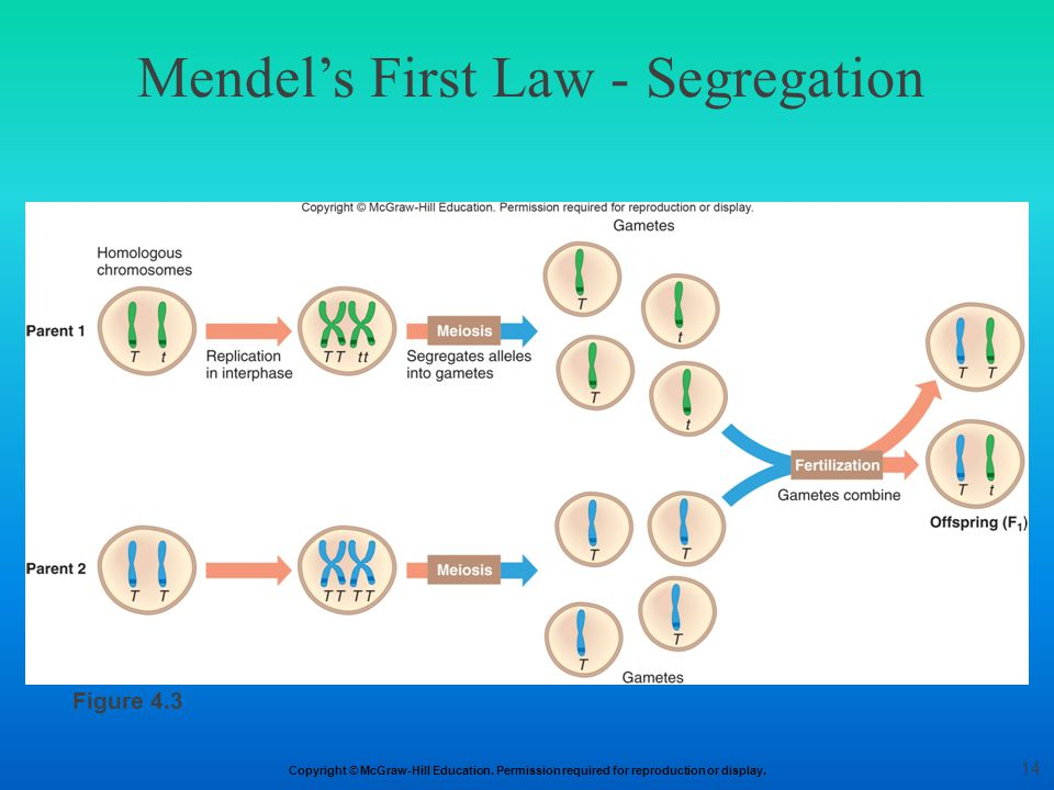 Copyright © McGraw-Hill Education. Permission required for reproduction or display. Mendel's First Law - Segregation Figure 4.3 14