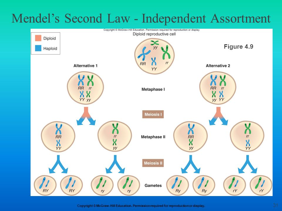 Copyright © McGraw-Hill Education. Permission required for reproduction or display. Mendel's Second Law - Independent Assortment Figure 4.9 31