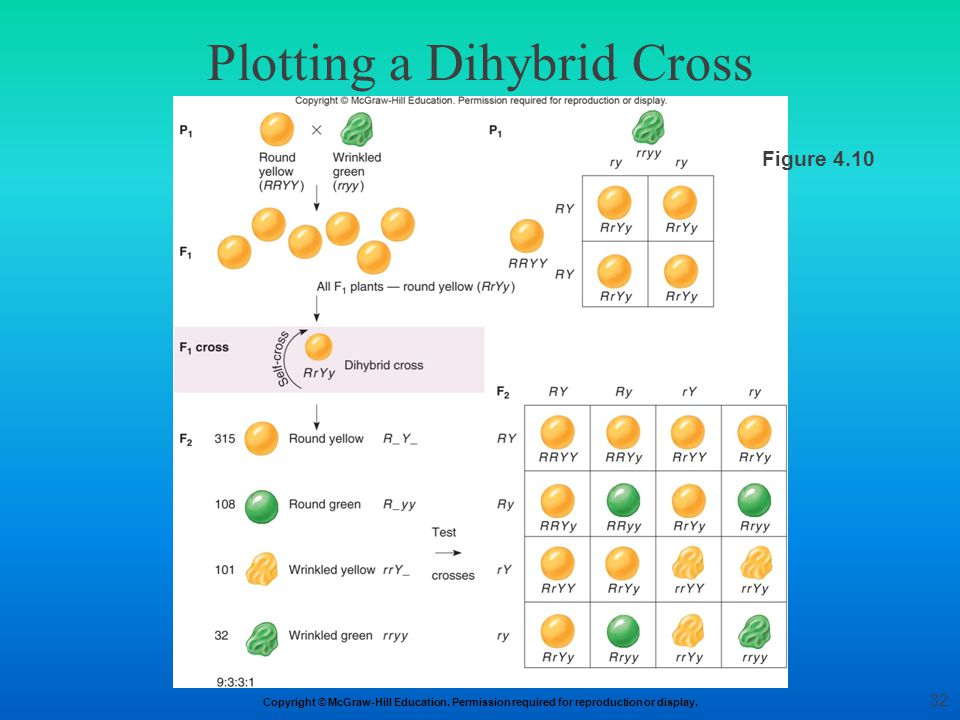 Copyright © McGraw-Hill Education. Permission required for reproduction or display. Plotting a Dihybrid Cross Figure 4.10 32