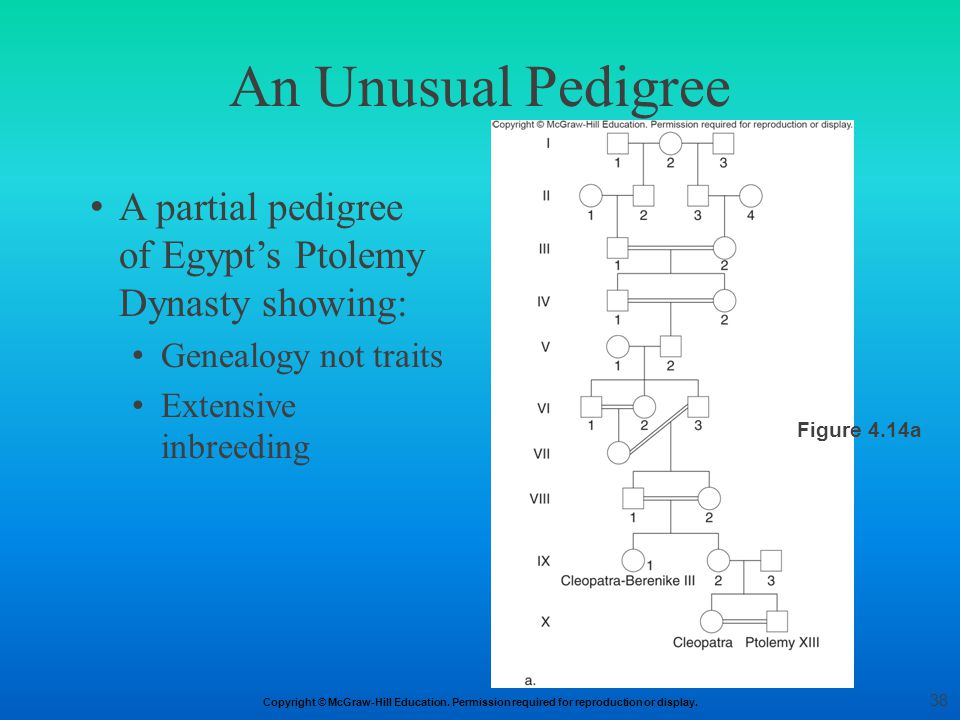 Copyright © McGraw-Hill Education. Permission required for reproduction or display. An Unusual Pedigree A partial pedigree of Egypt's Ptolemy Dynasty