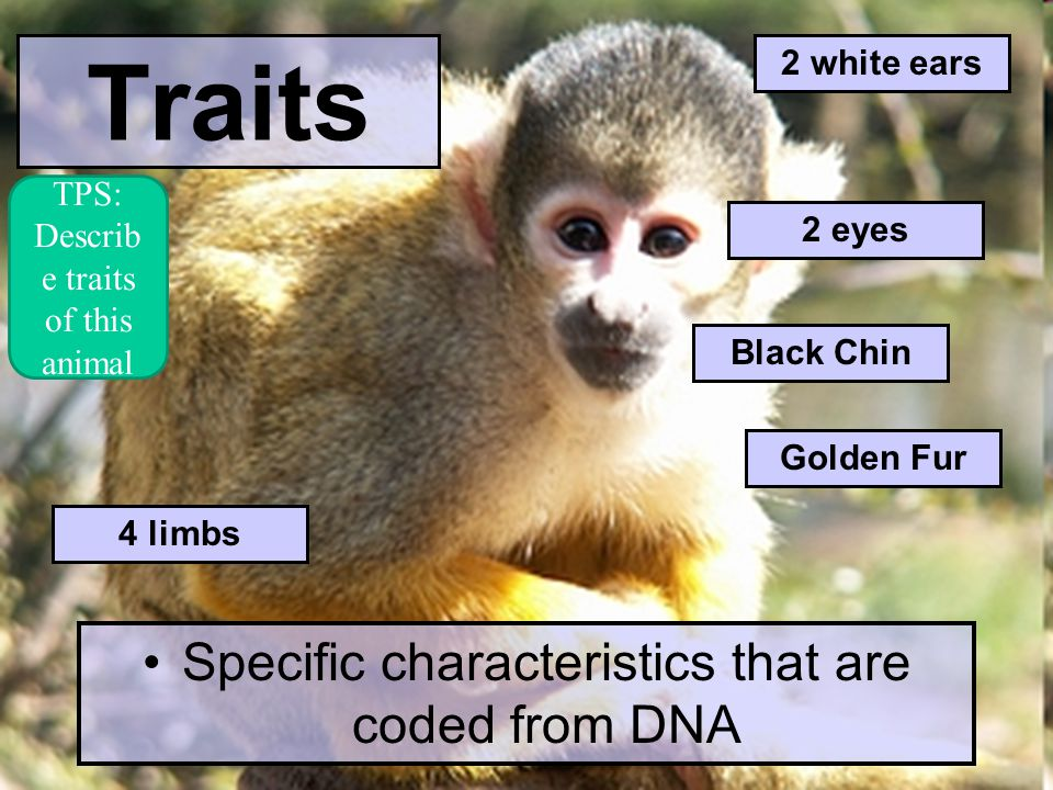 Traits Specific characteristics that are coded from DNA Golden Fur Black Chin 4 limbs 2 white ears 2 eyes TPS: Describ e traits of this animal