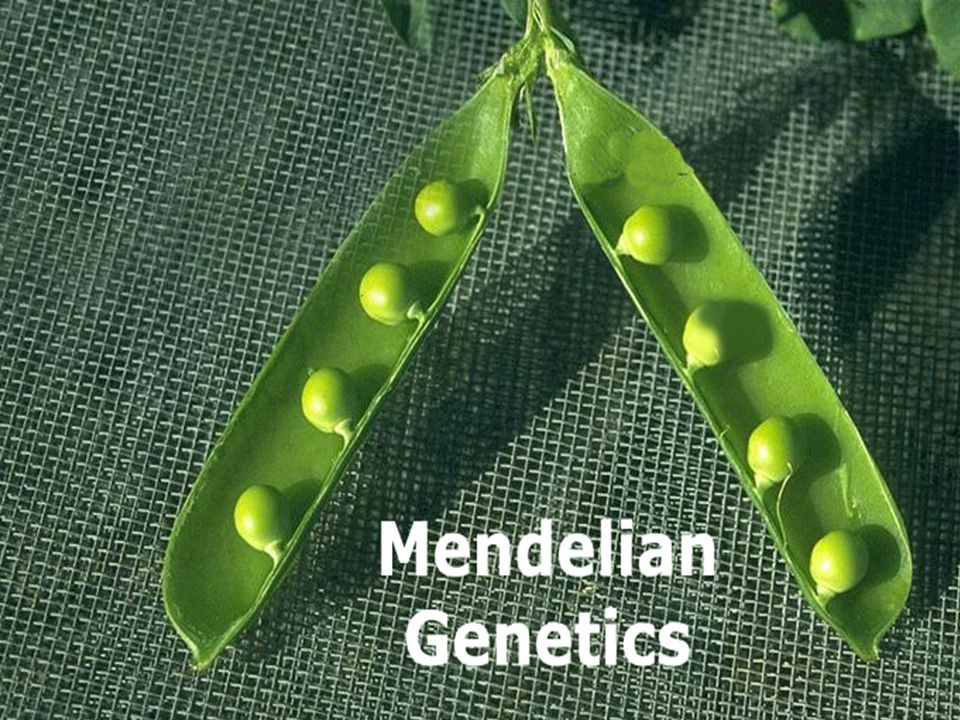 Gregory Johann Mendel 1822- 1884 Austrian monk Experimented with pea plants He thought that 'heritable factors' (genes) retained their individuality generation after generation