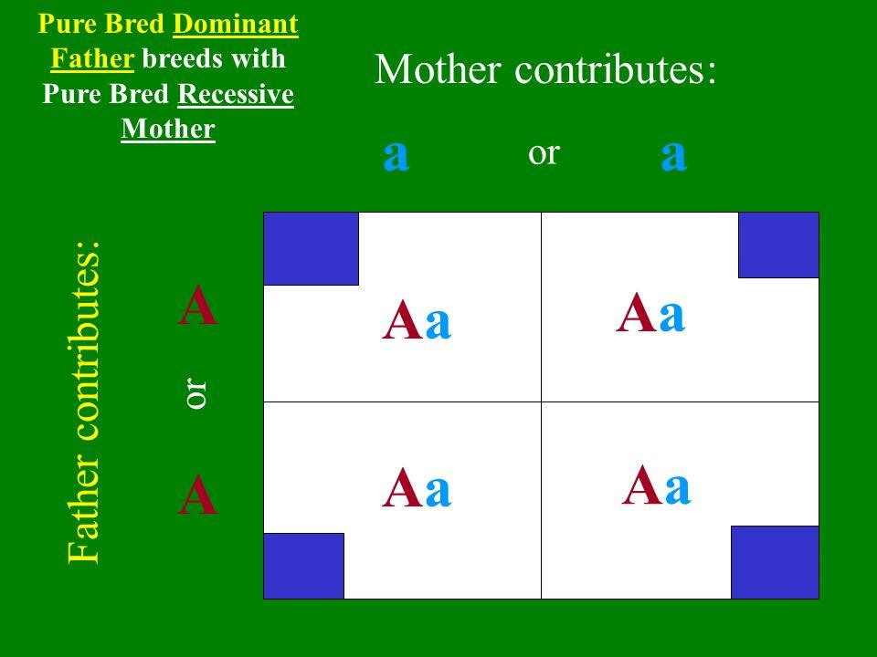 aa A A AaAa AaAa AaAa AaAa Father contributes: Mother contributes: or Pure Bred Dominant Father breeds with Pure Bred Recessive Mother