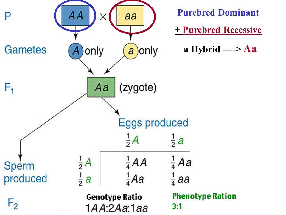 Purebred Dominant + Purebred Recessive a Hybrid ----> Aa
