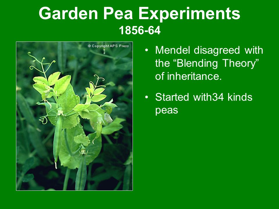 Garden Pea Experiments 1856-64 Mendel disagreed with the Blending Theory of inheritance.