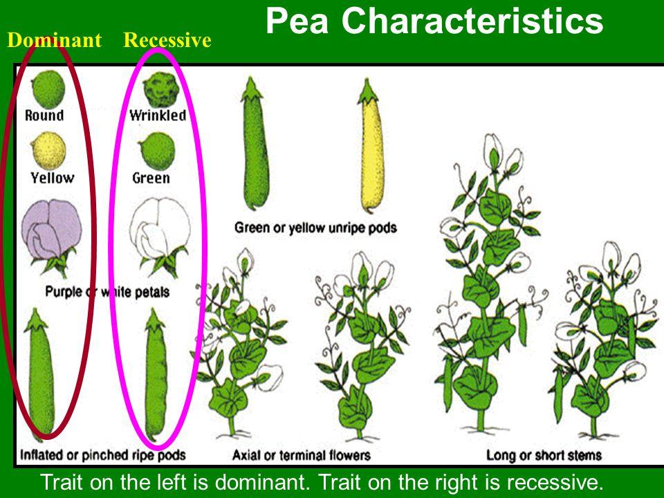 Pea Characteristics Trait on the left is dominant. Trait on the right is recessive. DominantRecessive