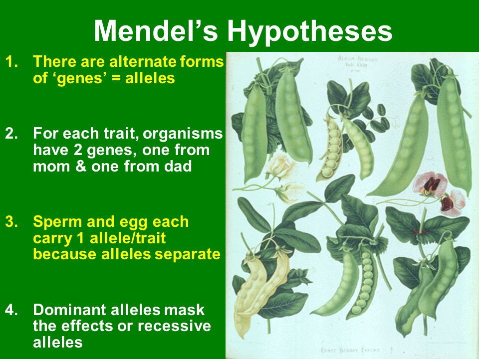 Mendel's Hypotheses 1.There are alternate forms of 'genes' = alleles 2.For each trait, organisms have 2 genes, one from mom & one from dad 3.Sperm and