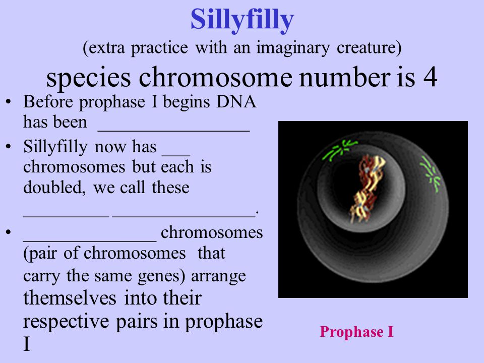Sillyfilly (extra practice with an imaginary creature) species chromosome number is 4 Before prophase I begins DNA has been ________________ Sillyfill