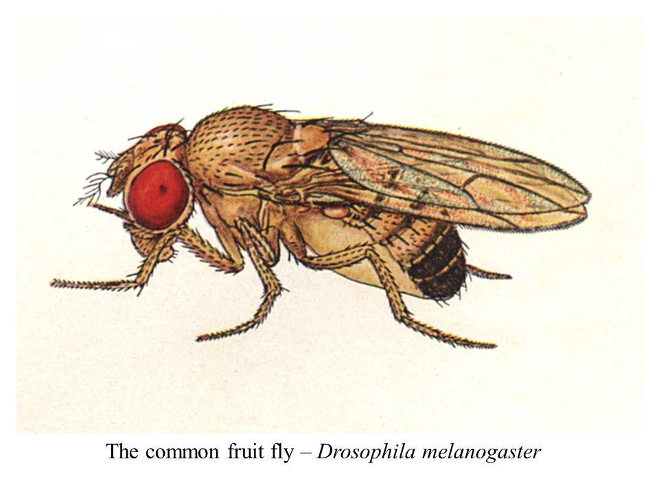 The common fruit fly – Drosophila melanogaster
