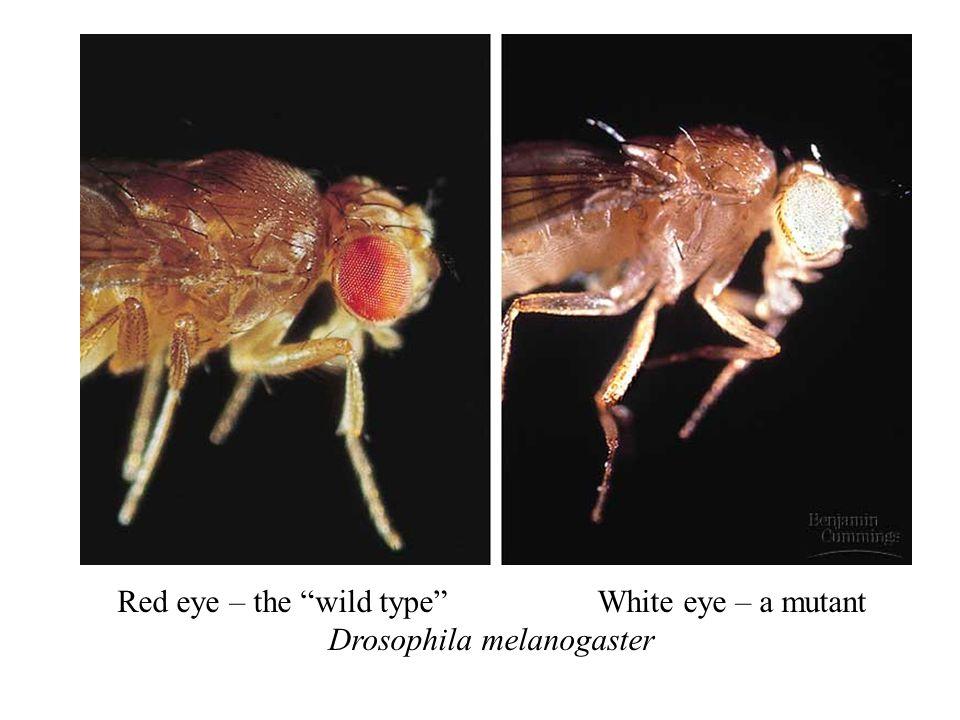 Red eye – the wild type White eye – a mutant Drosophila melanogaster