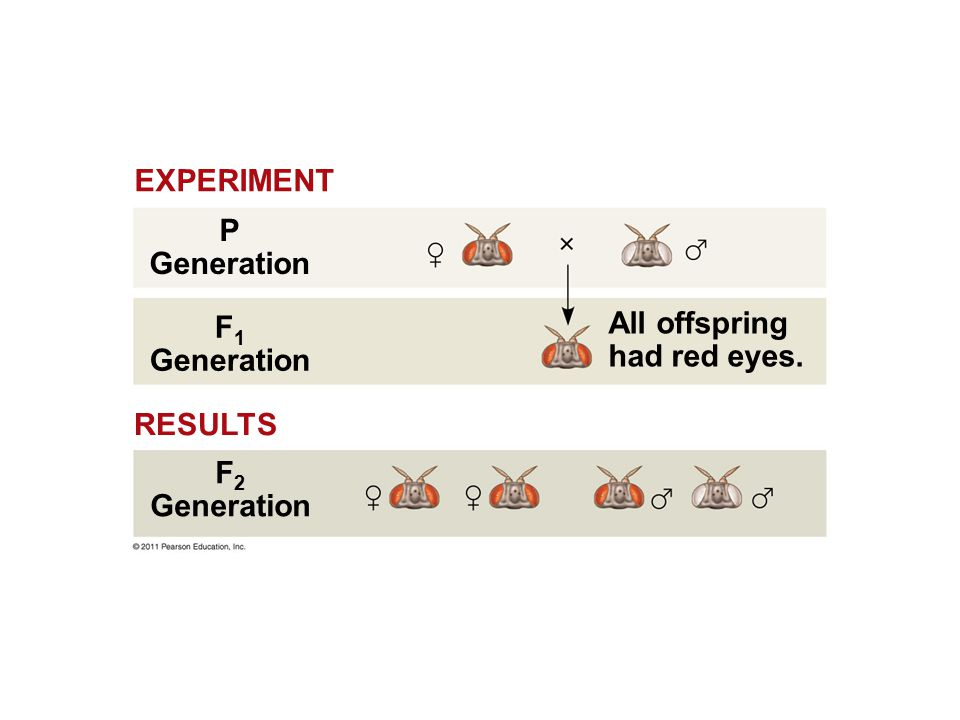 All offspring had red eyes. P Generation F 1 Generation F 2 Generation RESULTS EXPERIMENT
