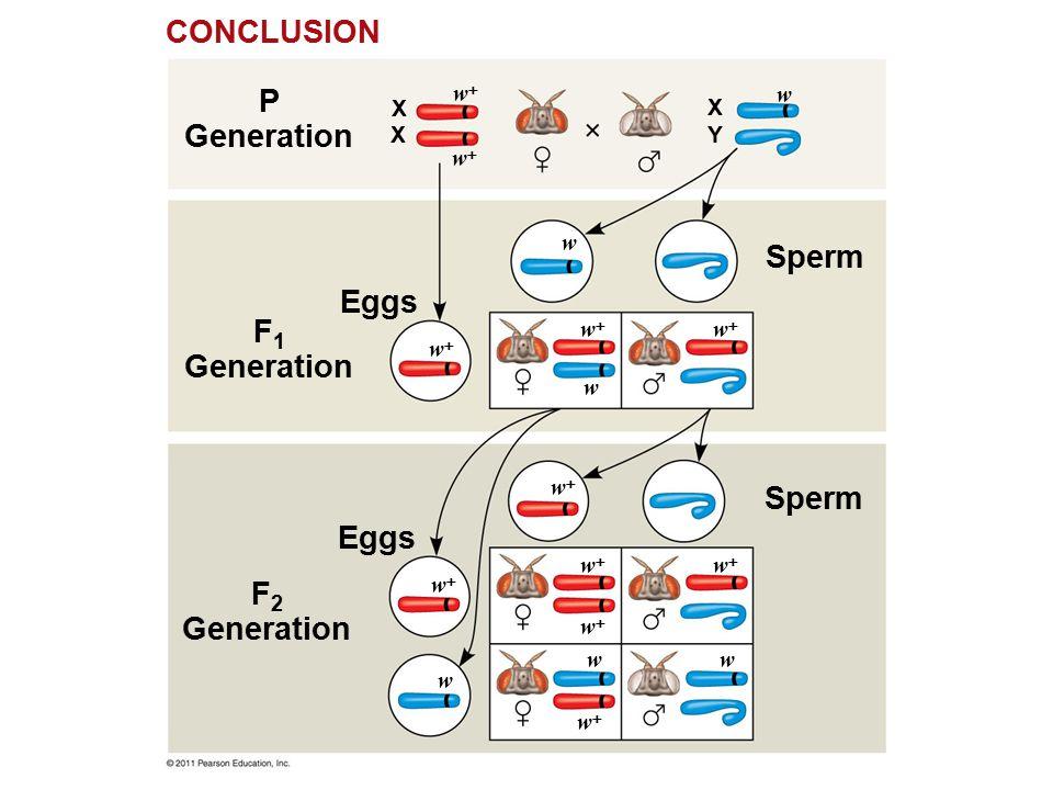 F 2 Generation P Generation Eggs Sperm X ww CONCLUSION X X Y ww ww ww ww ww ww ww ww ww ww w w w w w w F 1 Generation