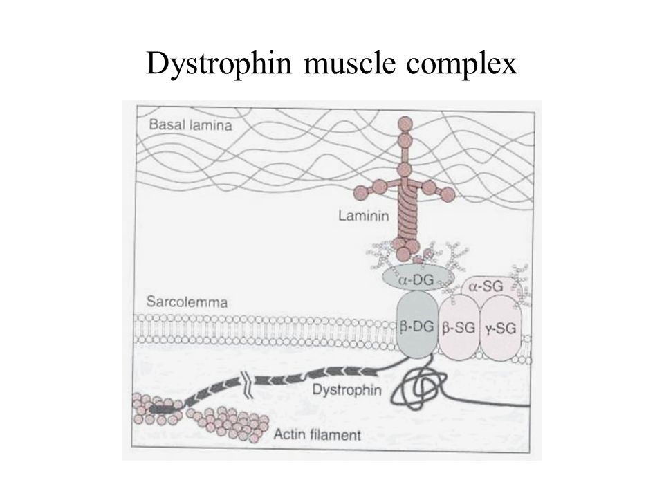 Dystrophin muscle complex