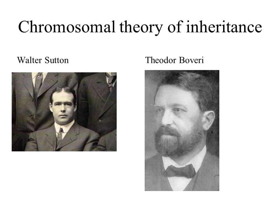 Chromosomal theory of inheritance Walter SuttonTheodor Boveri