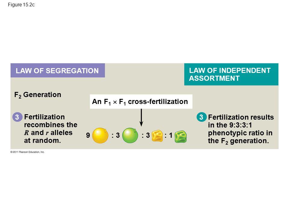 Figure 15.2c F 2 Generation 3 Fertilization recombines the R and r alleles at random.