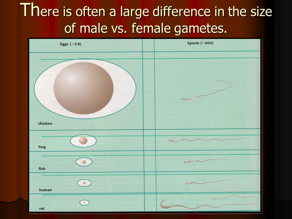Th ere is often a large difference in the size of male vs. female gametes.