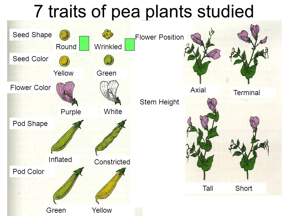 7 traits of pea plants studied RoundWrinkled YellowGreen Seed Shape Seed Color Flower Color Pod Shape Pod Color Purple White Inflated Constricted GreenYellow Flower Position Stem Height Axial Terminal TallShort Rr