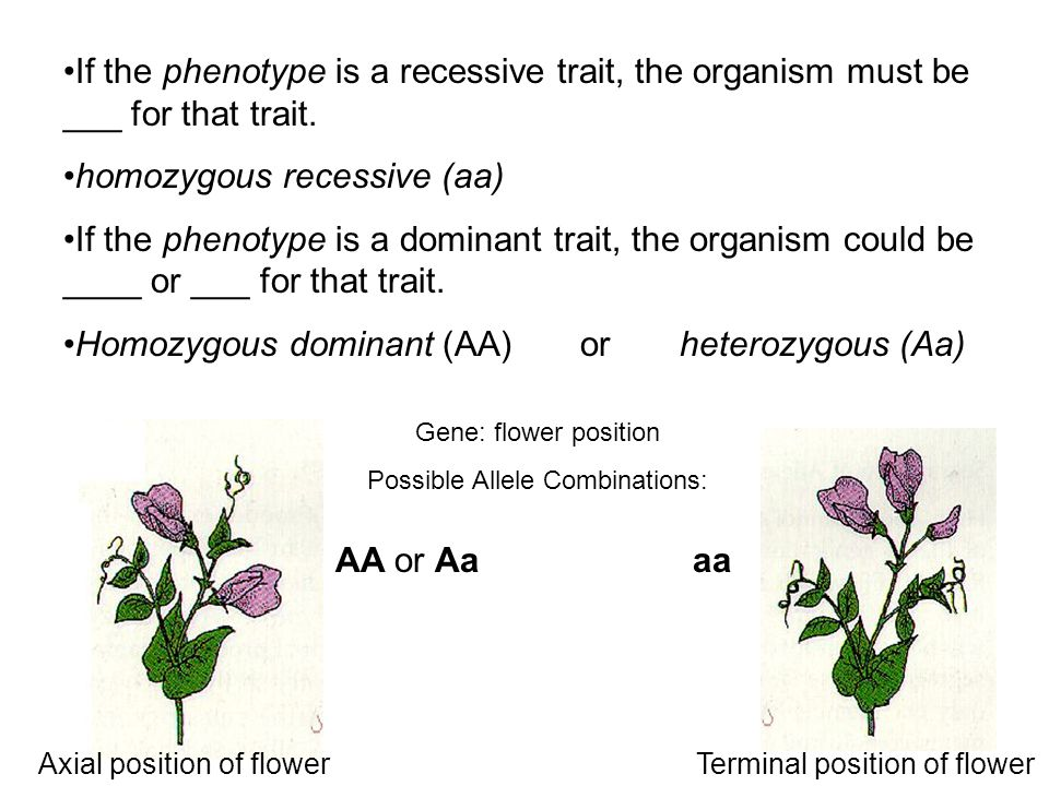 If the phenotype is a recessive trait, the organism must be ___ for that trait.