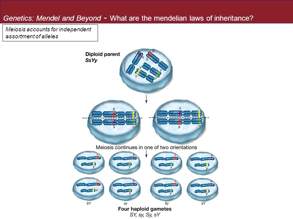 Genetics: Mendel and Beyond - What are the mendelian laws of inheritance.