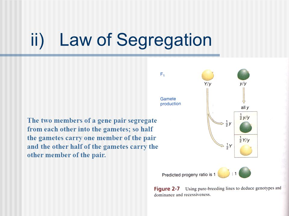 ii)Law of Segregation The two members of a gene pair segregate from each other into the gametes; so half the gametes carry one member of the pair and the other half of the gametes carry the other member of the pair.
