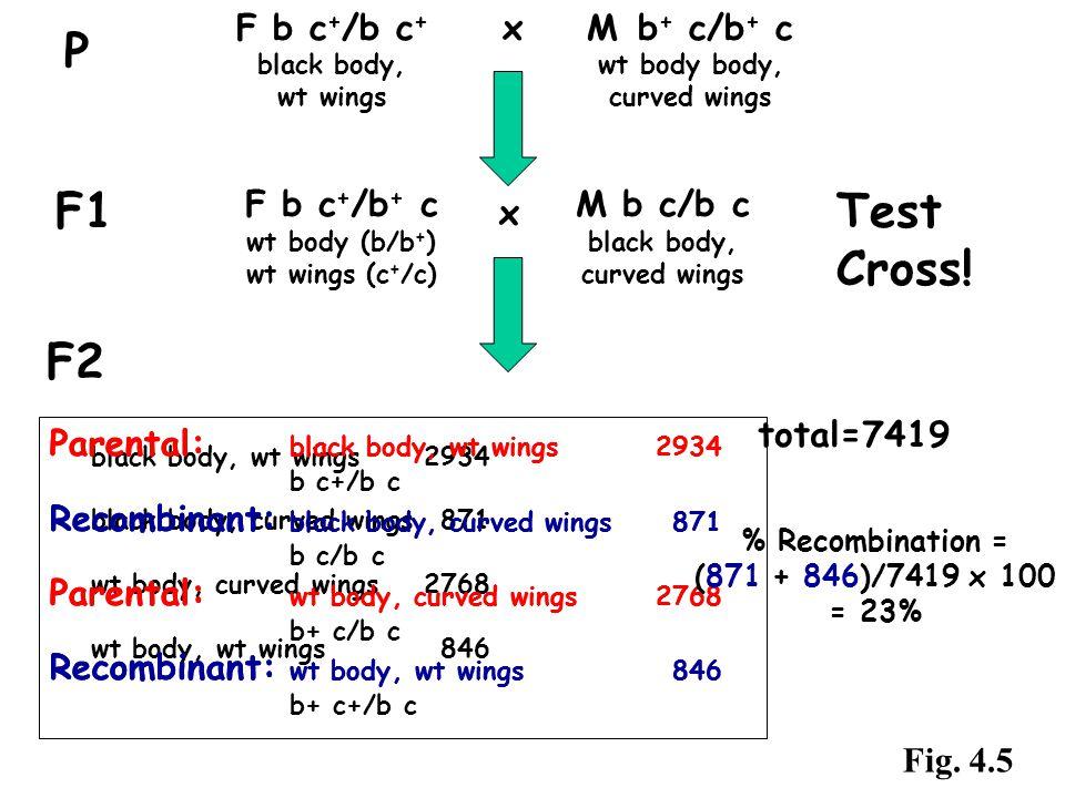F2 F b c + /b c + x M b + c/b + c black body, wt body body, wt wingscurved wings P F1 F b c + /b + c wt body (b/b + ) wt wings (c + /c) M b c/b c blac